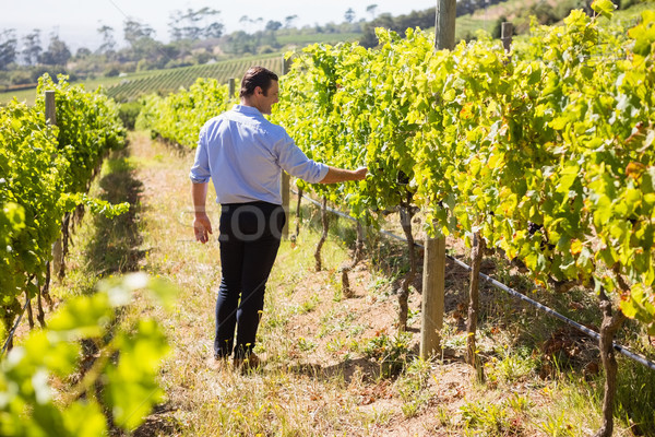 Onderzoeken druiven wijngaard boerderij druif Stockfoto © wavebreak_media