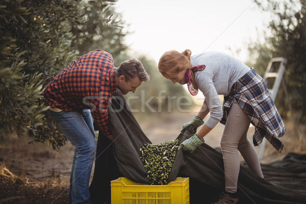 Man and woman collecting olives in crates at farm during sunny day Stock photo © wavebreak_media