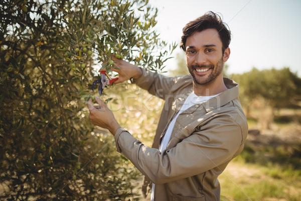 Smiling man cutting olives on sunny day at farm Stock photo © wavebreak_media