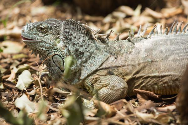 ストックフォト: 緑 · イグアナ · 死んだ · 葉 · 自然