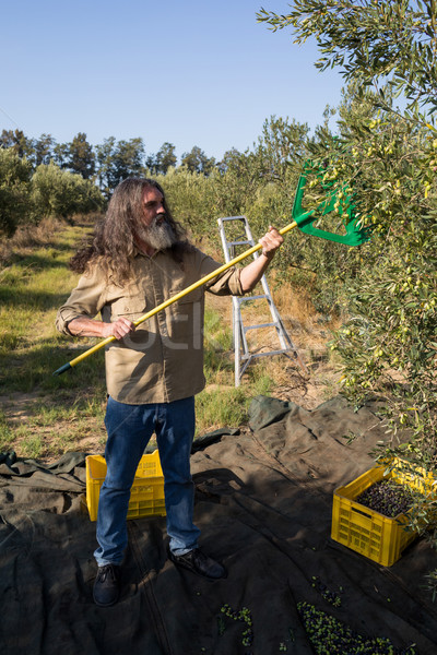 Farmer harvesting olive with rack Stock photo © wavebreak_media