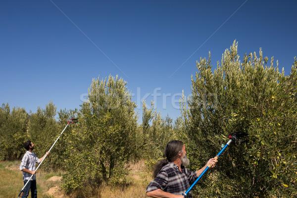 Homens oliva ferramenta colheita fazenda Foto stock © wavebreak_media