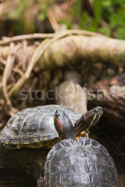 Two terrapin turtles Stock photo © wavebreak_media
