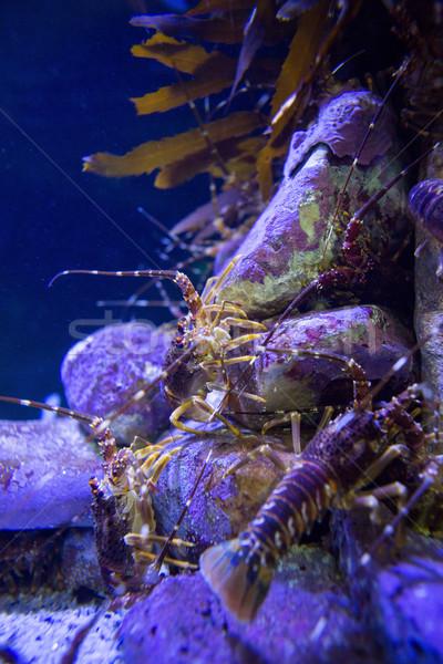 Shrimp climbing stones in a tank  Stock photo © wavebreak_media