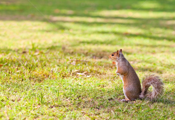 Scoiattolo parco alimentare natura divertente animale Foto d'archivio © wavebreak_media