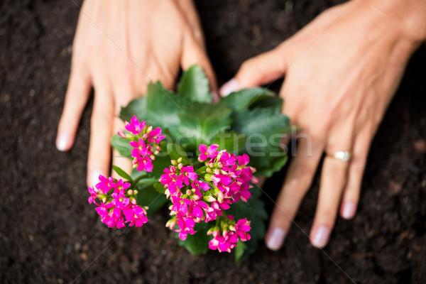 Cropped hands of woman planting flowers Stock photo © wavebreak_media