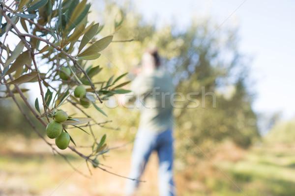 Close-up of ripe olive on tree Stock photo © wavebreak_media
