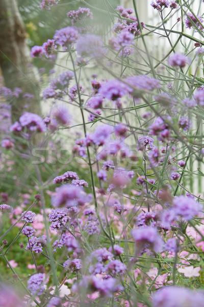 Буш Purple цветы саду забор стране Сток-фото © wavebreak_media