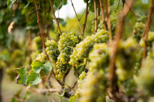 Szőlőskert érett szőlő vidék természet levél Stock fotó © wavebreak_media