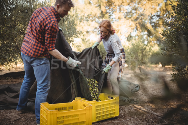 Couple collecting olives in crates at farm during sunny day Stock photo © wavebreak_media