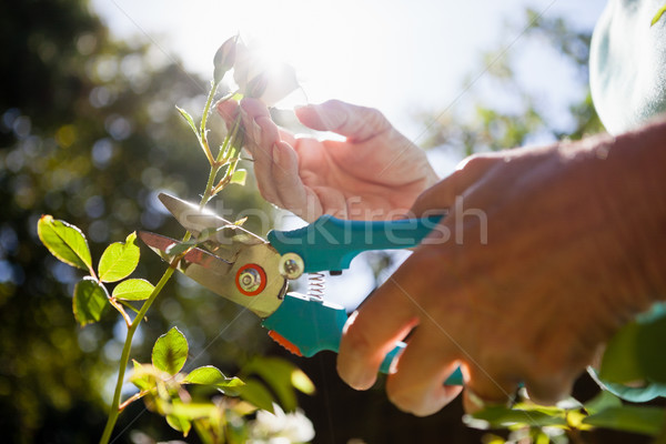 Close-up of senior woman cutting flower stem with pruning shears Stock photo © wavebreak_media