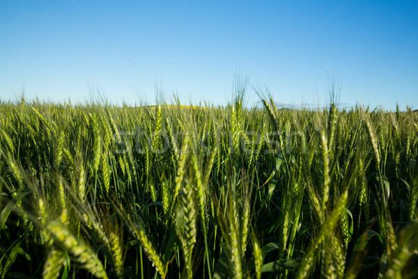 Kilátás gyönyörű búzamező napos idő természet zöld Stock fotó © wavebreak_media