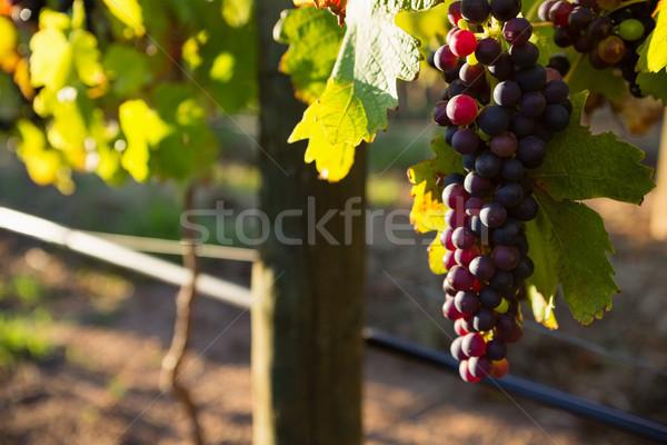 Ripe grapes in vineyard Stock photo © wavebreak_media
