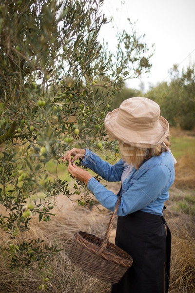 Woman harvesting olives from tree Stock photo © wavebreak_media