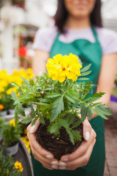 Stock photo: Woman who works in garden center showing a yellow flower