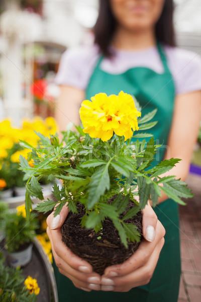 Woman who works in garden center showing a yellow flower  Stock photo © wavebreak_media