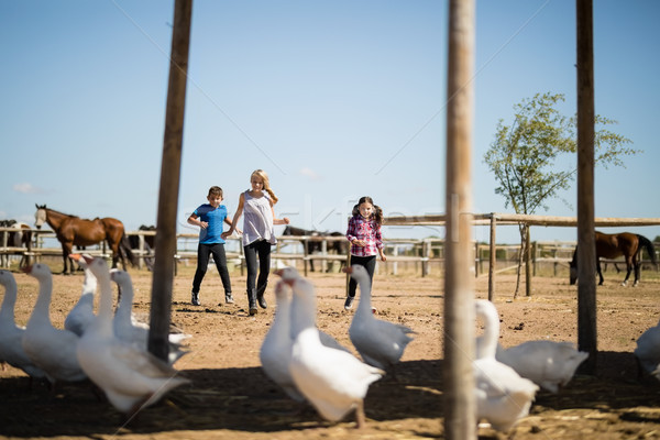 Three kids looking at the geese in the farm Stock photo © wavebreak_media