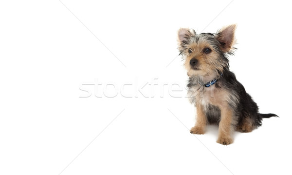 Cute yorkshire terrier puppy sitting Stock photo © wavebreak_media