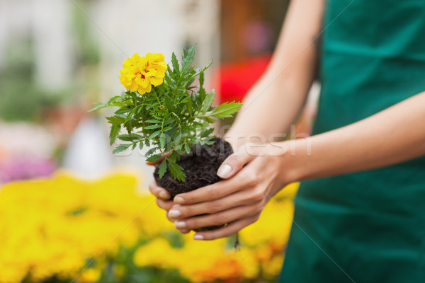 Assistant planting a flower in front of yellow plants in garden center Stock photo © wavebreak_media
