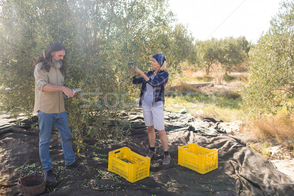 Couple pruning olive tree in farm Stock photo © wavebreak_media