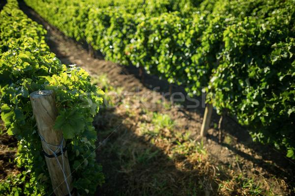 High angle view of vineyard Stock photo © wavebreak_media