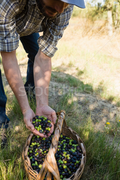 Farmer holding a hand full of olives in farm Stock photo © wavebreak_media