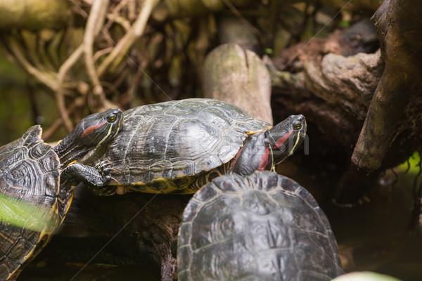 Tre tartarughe natura animale tartaruga cute Foto d'archivio © wavebreak_media
