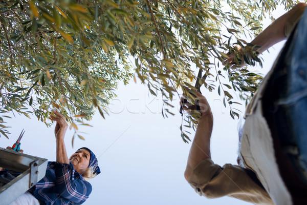 Couple pruning olive tree in farm Stock photo © wavebreak_media