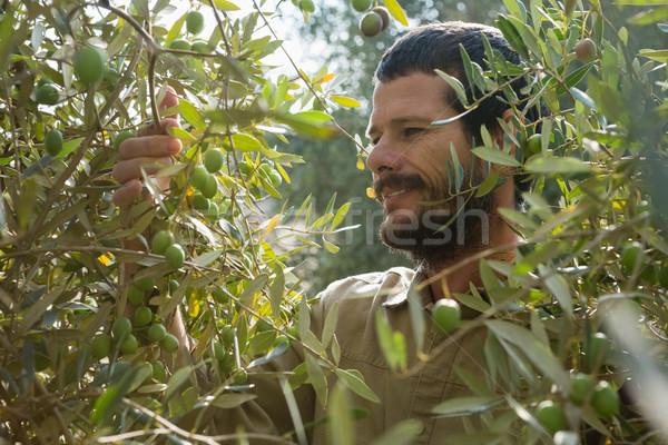 Farmer checking a tree of olive Stock photo © wavebreak_media