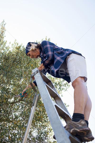 Woman pruning olive tree in farm Stock photo © wavebreak_media