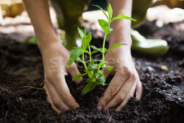 Cropped hands of woman planting seedling on dirt Stock photo © wavebreak_media
