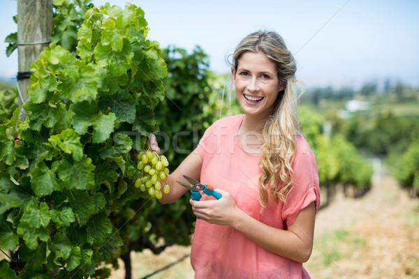 Portrait of woman cutting grapes through pruning shears at vineyard Stock photo © wavebreak_media