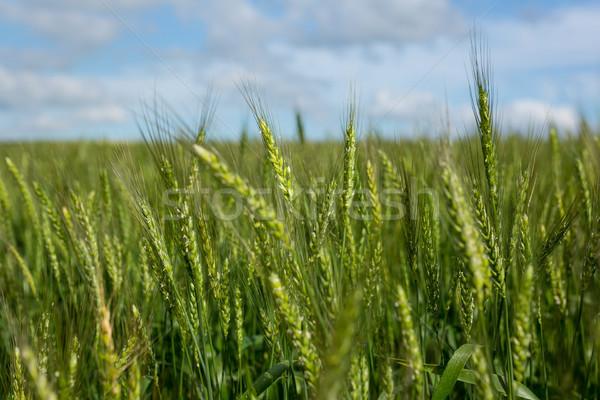 表示 美しい 麦畑 幸せ 自然 ストックフォト © wavebreak_media