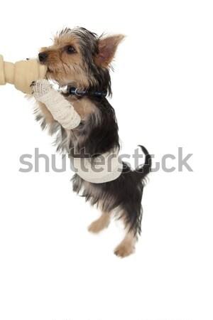Yorkshire terriër puppy bot witte spelen Stockfoto © wavebreak_media
