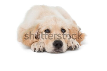 Psa na zewnątrz patrząc kamery biały Zdjęcia stock © wavebreak_media