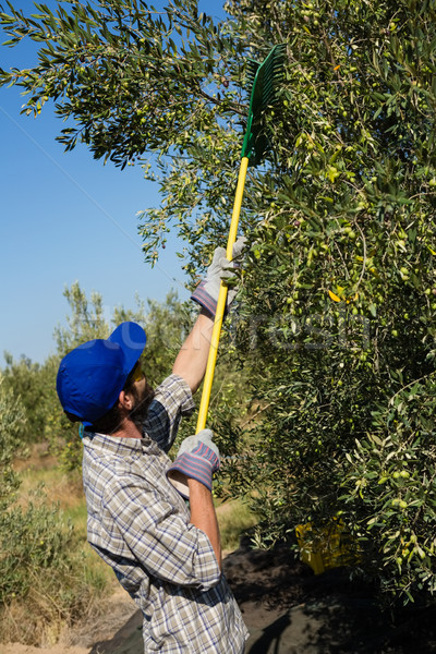 Farmer using olives picking tools while harvesting Stock photo © wavebreak_media