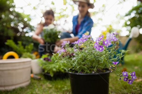 Lila virágzó növények anya lánygyermek közelkép Stock fotó © wavebreak_media