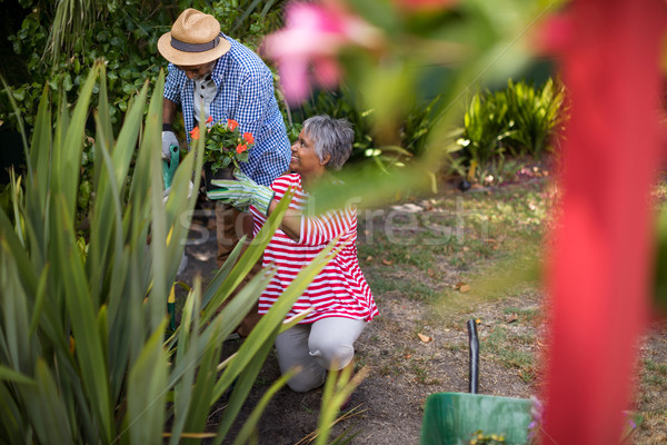 Senior couple planting flowers in yard Stock photo © wavebreak_media