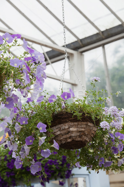 Hanging basket filled with purple flowers in garden center Stock photo © wavebreak_media