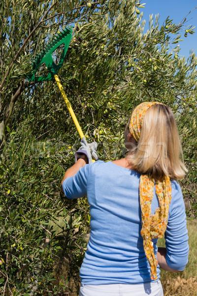 Farmer using olives picking tools while harvesting Stock photo © wavebreak_media