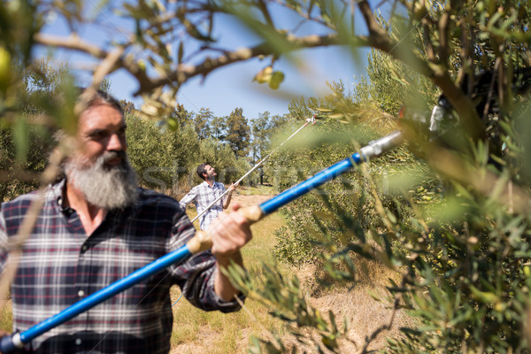 Man using olive picking tool while harvesting Stock photo © wavebreak_media