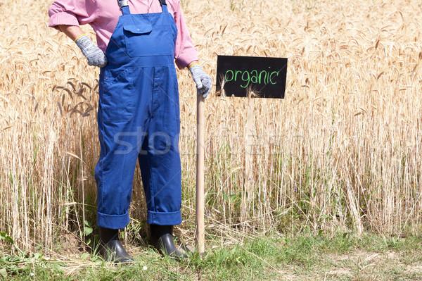 Organic wheat field Stock photo © wellphoto