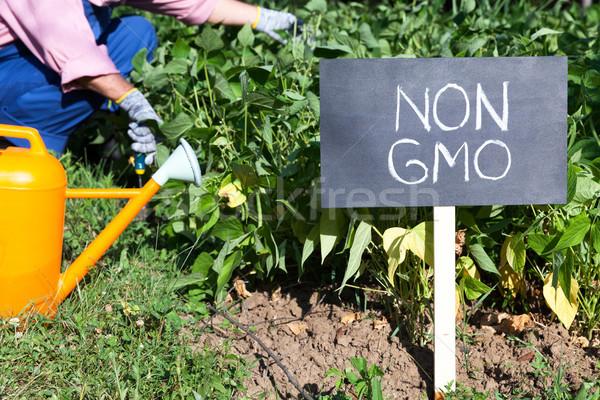Farmer working in the non-GMO vegetable garden Stock photo © wellphoto