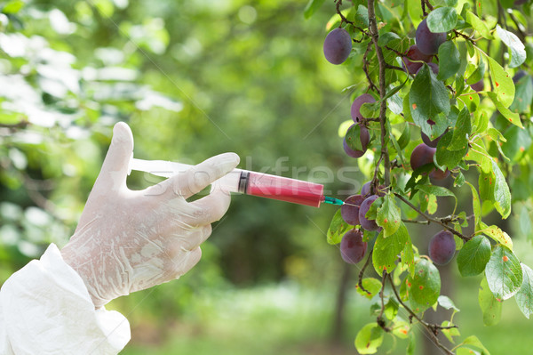 Genetically modified plum Stock photo © wellphoto