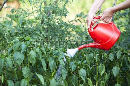 Sebze bahçe su doğa yaz Stok fotoğraf © wellphoto