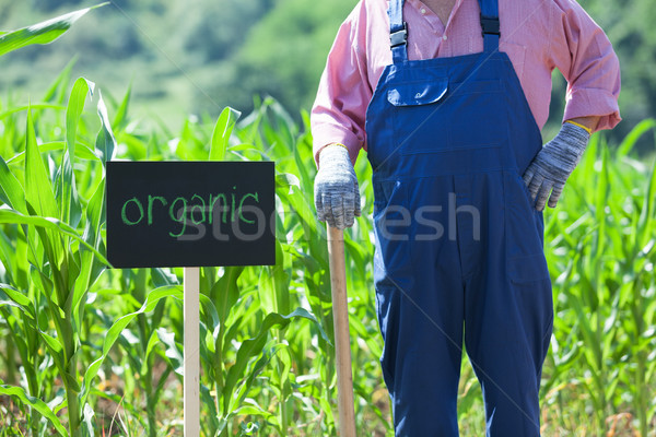 Organic maize field Stock photo © wellphoto