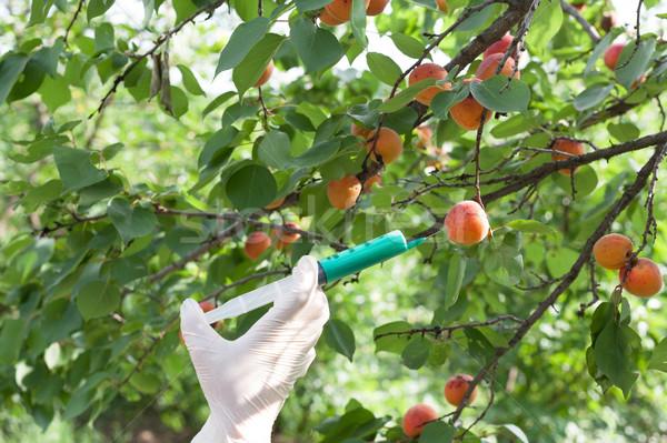 Genetically modified apricot Stock photo © wellphoto