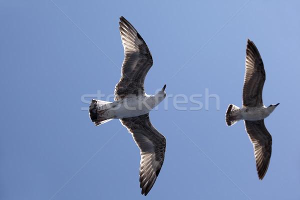 Sirályok repülés óceán madár kék szabadság Stock fotó © wellphoto