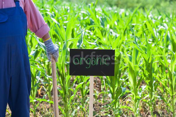 çiftçi ayakta organik alan mısır yeşil Stok fotoğraf © wellphoto