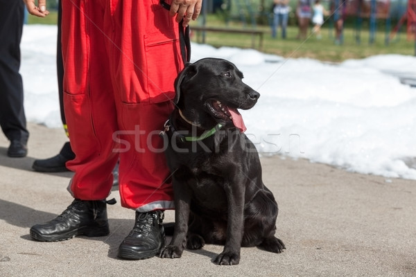 Search and rescue dog. Labrador Retriever. Stock photo © wellphoto
